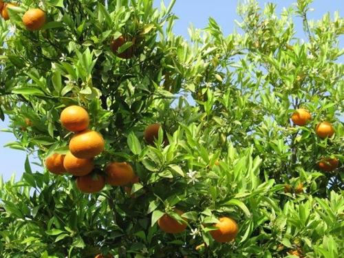 Сезон сладких апельсинов