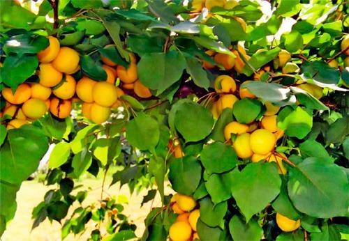 afinodor: сорта абрикос для воронежа: http://drilledsharlaf.blogspot.com/2013/02/blog-post_5515.html