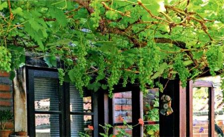 Виноград в дизайне сада