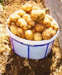 Сохранить урожай картофеля!