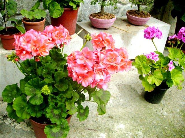 Комнатные цветы не к дому