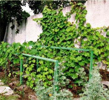 Ведение винограда в низкой шпалере.