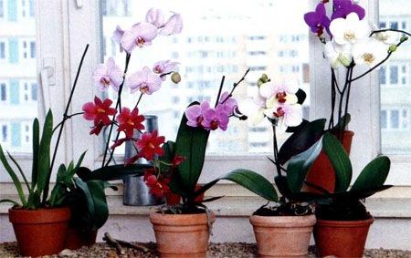 osobennosti_orhidei