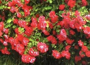 Садовая классификация плетистых роз