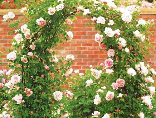 Знакомство с плетистыми розами