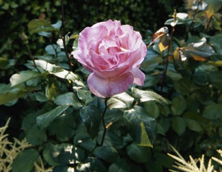 Питание садовых роз
