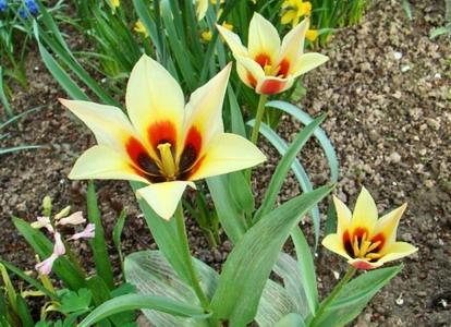 Метки odalisque тюльпан тюльпан
