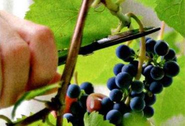 Виноград: вопрос-ответ №2