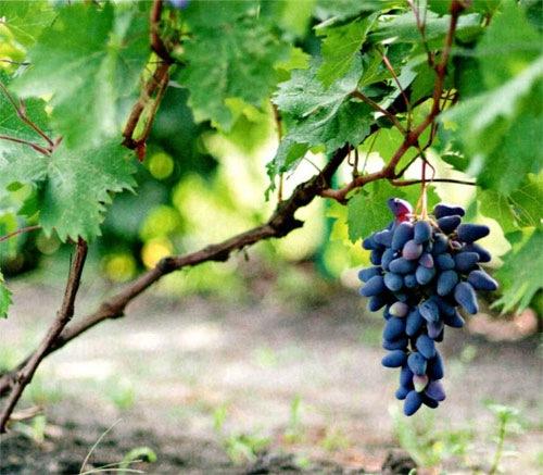 Виноград: выращивание в России